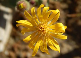 California Butterweed 3 by ZiggyStardust201