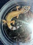 My new leopard gecko -nameless by missfit1023