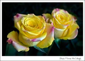 Yellow Roses by substar