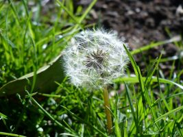 the other look of the dandelion by drakewl75