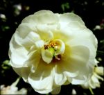 Single White Flower seeks.... by AudraMBlackburnsArt