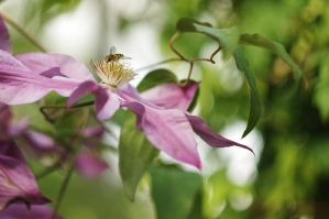 Clematis by Winstein
