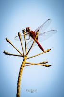 Red Dragonfly iphone ipod android wallpaper  HD by YadavThyagaraj