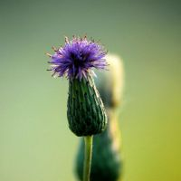 Thistle at Sunset by TimLaSure