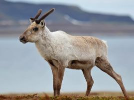 Reindeer 03 by nordfold