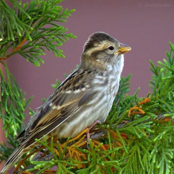 Punk rock sparrow by Jorapache