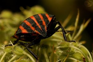 red and black stripes II by webcruiser