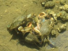 Blue Crab and Long-Clawed Hermit Crab 6 by AxelHonoo