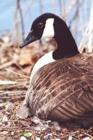 Goose by DaggarHeart