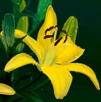 Yellow Lilly by dogman63