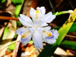 Iris japonica by Flower-Kitten