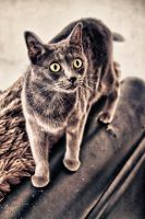 Chat Gris by KIKIphotolove