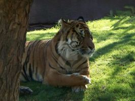 Phoenix Zoo tiger1 by Tanis711