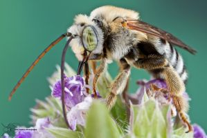 Longhorned Bee - Eucerini by ColinHuttonPhoto