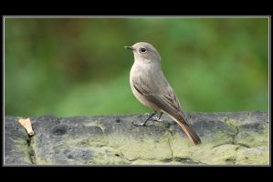 A Common Redstart by Rajmund67