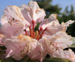 RHODODENDRUMS AFTER RAIN by GeaAusten