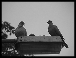 doves by hollietree