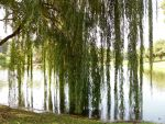 Willow Tree Pond 4 by Rhabwar-Troll-stock