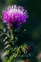 thistle by Katyma