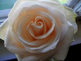Rose 2 by x3OxyMoron
