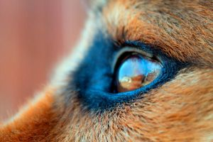 Dog's eye by nightshadeonyx