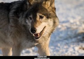 Wolf .8: Laughing wolf by PaPeRDoLLLL