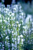 Thyme by K4PP4