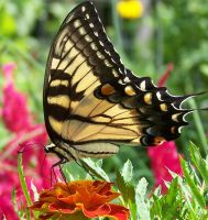 Tiger Swallowtail on Marigold by SoCallMeNothing