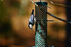 White-Breasted Nuthatch by ohmyhii