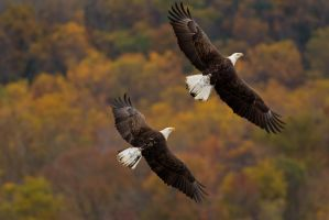 Bald Eagle Chase 8 by bovey-photo