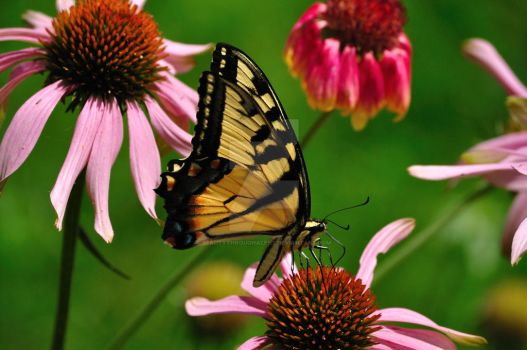Yellow Swallowtail by beautythroughalens