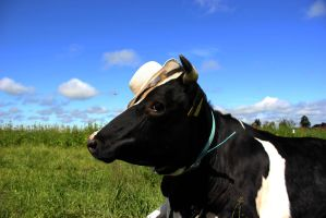 heifer with a hat by purstotahti