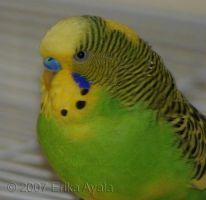 Flik the Angry Budgie by Sombraluz-Images