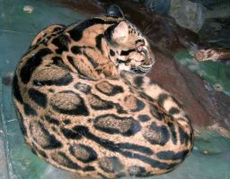 Clouded Leopard by wolven-spirits