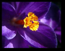 Purple Crocus by inacom