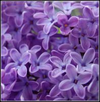 Lilacs by Hitomii
