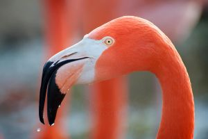American Flamingo II by DeniseSoden