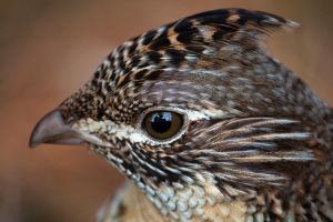 Ruffed Grouse by PrimalOrB
