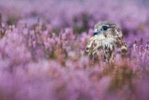 Female Merlin in Heather by joeelway
