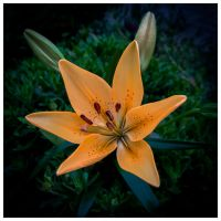 Lys by Malcolm21
