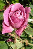 wet pink rose 2 by mjconns