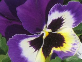 21517 another Pansy by crazygardener