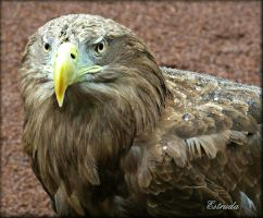 Sea Eagle 2 by Estruda