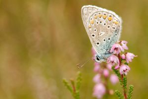 Common blue by andabata