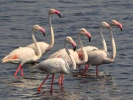 greater flamingos by jynto