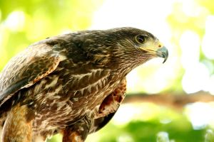 Hawk I by TorriaMuse