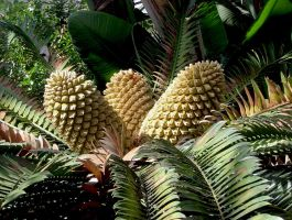 Cycad Cones In The Temperate House at Kew Gardens by aegiandyad