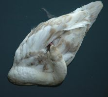Stock - Swan 5 by Cleonor
