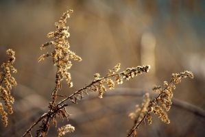 Goldenrod gone to Seed by Foxytocin