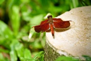 Red Dragonfly by vhive